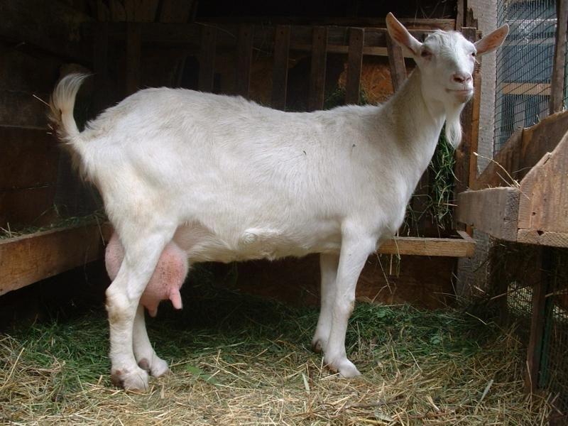 Пытаясь продать козу, жительница Тутаева лишилась крупной суммы денег